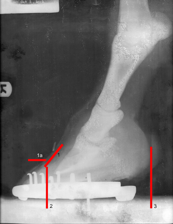 X-ray of Quinn's right front hoof. X-ray by Heidi Veterinary Services, Red Deer