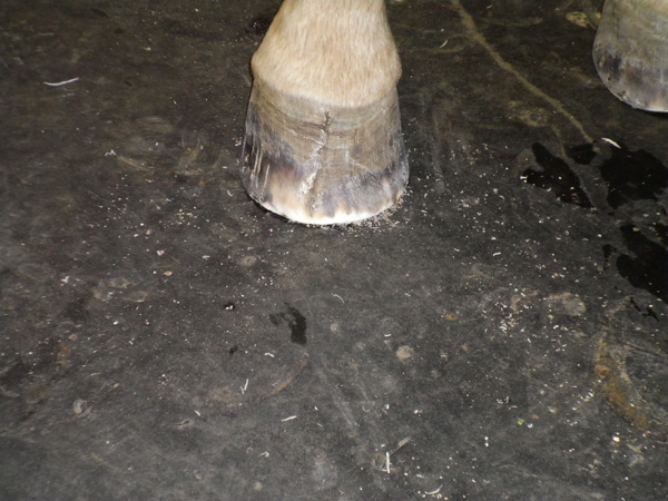 Quinn's right front hoof after his first trim. Photo by Margie Moore