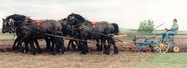 Fred McDiarmid of Veteran, Alta., with an eight-horse hitch of black Percherons.
