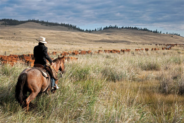 Trailing cattle slow and easy on the Quilchena native grass range. Photo by Kim Taylor / Slidin U Photography.