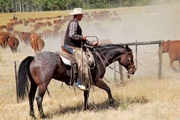 Easing cattle through the gate with the help of a good cowhorse. Photo by Kim Taylor / Slidin U Photography.