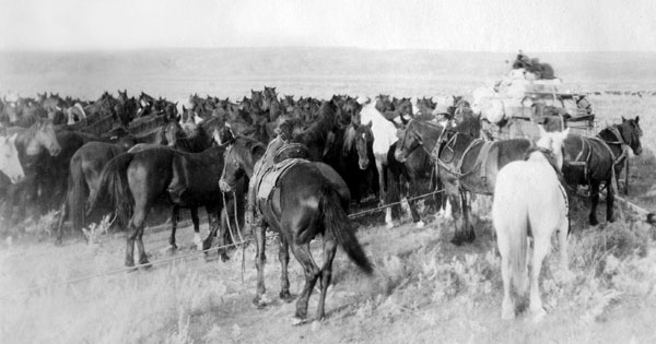 A remuda of horses held in a rope corral deep on the southern plains of the Canadian prairie kept trained horses at the ready for changing tired mounts during the roundups. Photo courtesy Terri Mason.