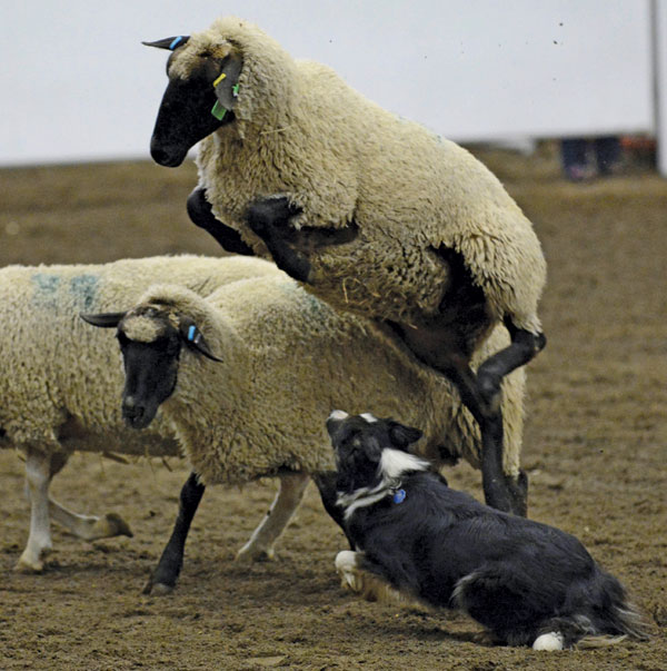Fifty-two dogs were entered in Calgary's Mutton Mayhem.