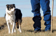 content-1506-trainingstockdogs